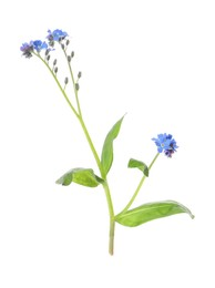 Beautiful blue Forget-me-not flowers isolated on white