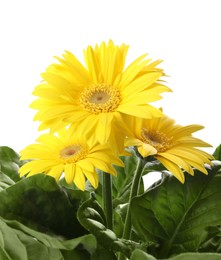 Beautiful yellow gerbera flowers on white background