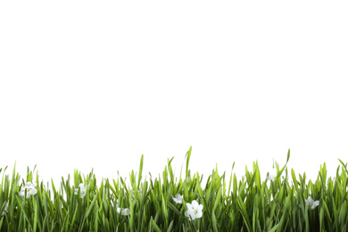 Fresh green grass and little flowers isolated on white. Spring season