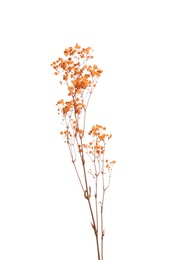 Beautiful tender dried flowers on white background.