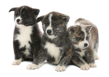 Cute Akita inu puppies on white background. Friendly dogs