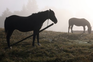 Horses grazing on pasture outdoors in misty morning. Lovely domesticated pets
