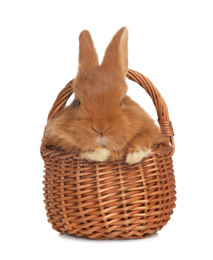 Adorable fluffy bunny in wicker basket isolated on white. Easter symbol