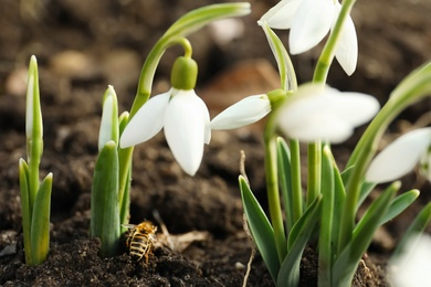 Bee on ground among beautiful snowdrops outdoors