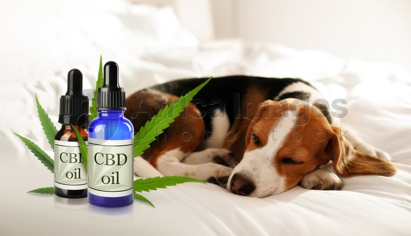Bottles of CBD oil and cute dog sleeping on bed