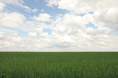 Agricultural field with ripening cereal crop under cloudy sky