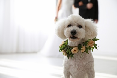 Adorable Bichon wearing wreath made of beautiful flowers on wedding. Space for text