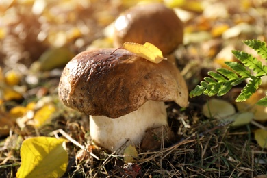 Fresh wild mushrooms growing in forest, closeup view