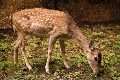 Cute doe in forest on autumn day