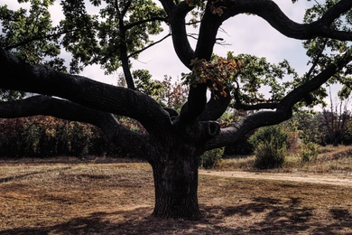 Beautiful oak with large twisted branches outdoors. Fantasy forest