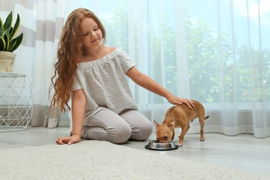 Cute little child feeding her Chihuahua dog at home. Adorable pet