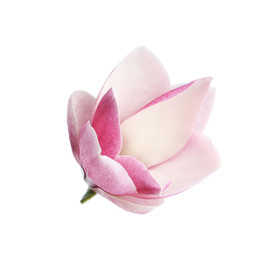 Beautiful magnolia flower isolated on white. Spring blossom