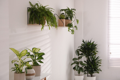 Beautiful potted plants near white wall at home