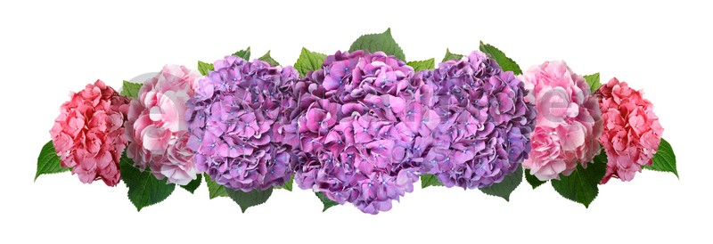 Delicate beautiful hortensia flowers with green leaves on white background, top view. Banner design