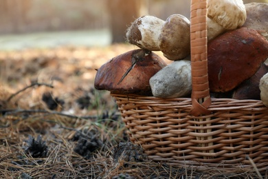 Wicker basket with fresh wild mushrooms in forest, closeup