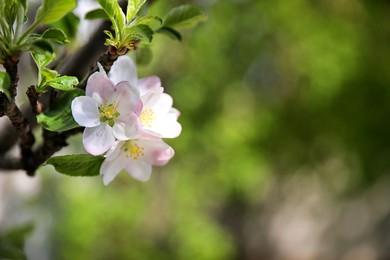 Closeup view of blossoming tree with white flowers outdoors