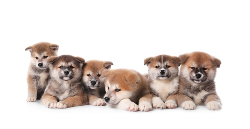 Adorable Akita Inu puppies on white background