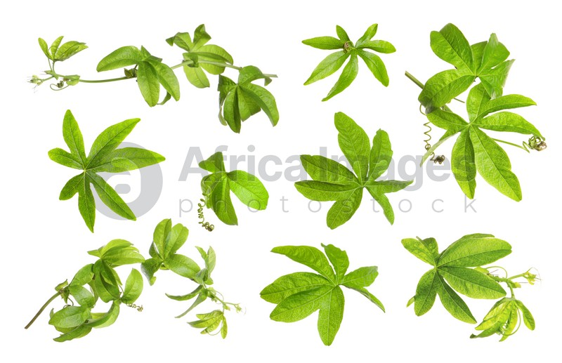 Set with Passiflora plant (passion fruit) leaves on white background