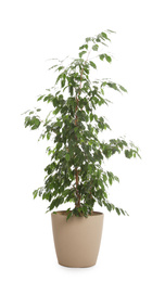 Pot with Ficus benjamina plant isolated on white. Home decor