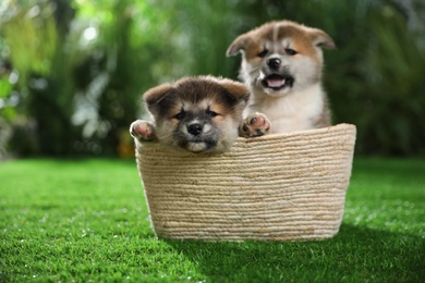 Cute Akita Inu puppies in basket on green grass outdoors