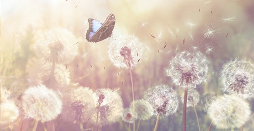 Beautiful butterfly and delicate fluffy dandelions on sunny day. Banner design