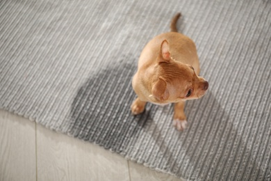 Cute Chihuahua puppy near wet spot on rug indoors, above view