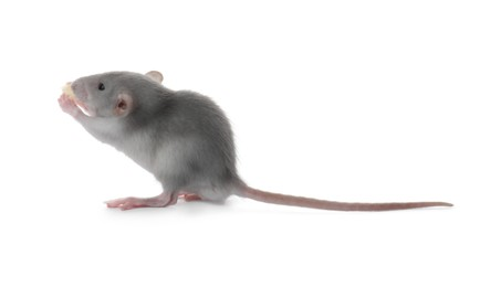Small fluffy grey rat eating cheese on white background