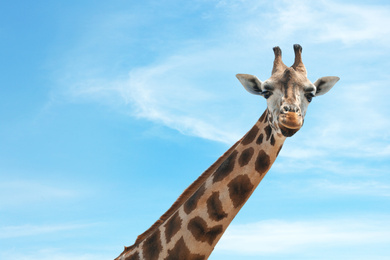 Closeup view of Rothschild giraffe at enclosure in zoo