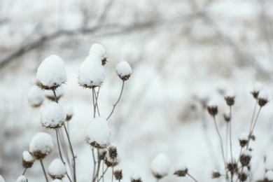 Dry wildflowers outdoors on snowy winter day, closeup