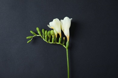 Beautiful freesia with fragrant flowers on dark background, top view