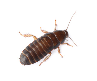 Brown cockroach isolated on white, top view. Pest control