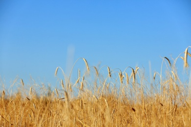 Landscape with wheat field and blue sky. Cereal grain crop