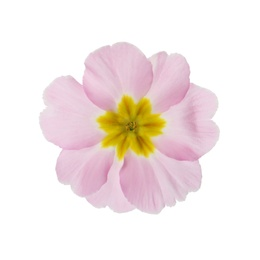 Beautiful pink primula (primrose) flower isolated on white. Spring blossom