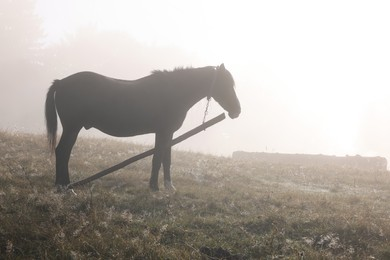 Horse grazing on pasture in misty morning. Lovely domesticated pet