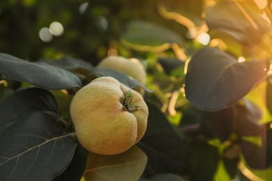 Closeup view of quince tree with ripening fruit outdoors