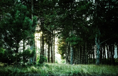 Beautiful view of pine forest. Fantasy setting