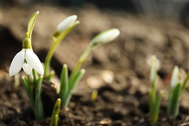 Beautiful snowdrop outdoors, closeup with space for text. Early spring flower