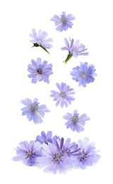 Beautiful tender chicory flowers falling on white background