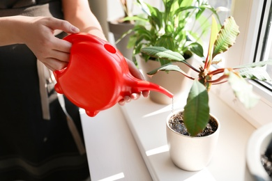Woman watering growing home plant on windowsill indoors, closeup