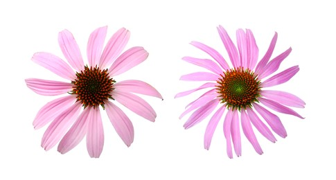 Beautiful echinacea flowers on white background, collage. Banner design