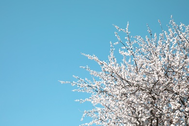 Branches of blossoming apricot tree on sunny day outdoors. Springtime