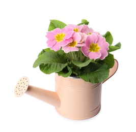 Beautiful primula (primrose) plant with pink flowers in watering can isolated on white. Spring blossom