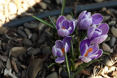 Beautiful crocus flowers outdoors, above view. Space for text