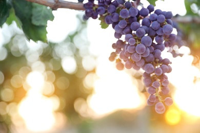 Bunch of ripe juicy grapes on branch in vineyard. Space for text