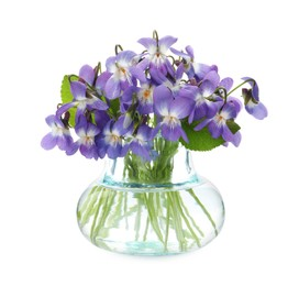 Beautiful wood violets in glass vase on white background. Spring flowers