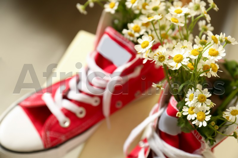 Above view of beautiful tender chamomile flowers in red gumshoes