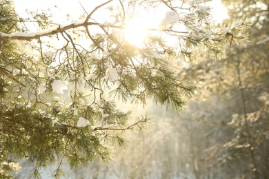 Beautiful sunlit tree branch covered with snow in forest. Winter season