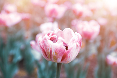Beautiful blooming tulip outdoors on spring day