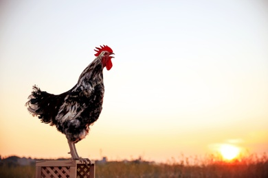 Big domestic rooster on wooden stand at sunrise, space for text. Morning time