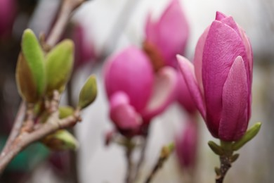 Beautiful bud of magnolia tree on blurred background, closeup. Space for text